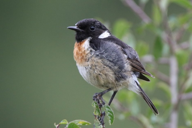Stonechat by Andy Tew - Aug 1st, Baddesley Common