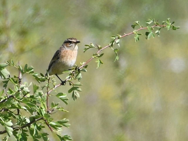 Whinchat by Dave Levy - Aug 20th, Burkham