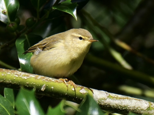 Willow Warbler by Rob Porter-Aug 20th, Pig Bush, N.F