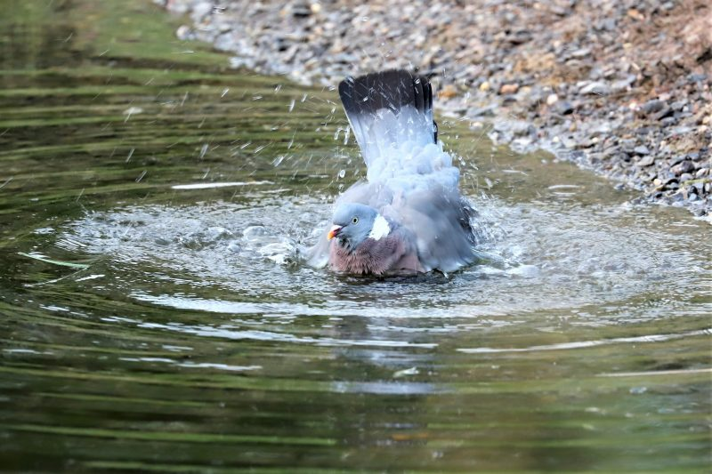 Woodpigeon by Brian Cartwright - Aug 8th, Anton Lakes