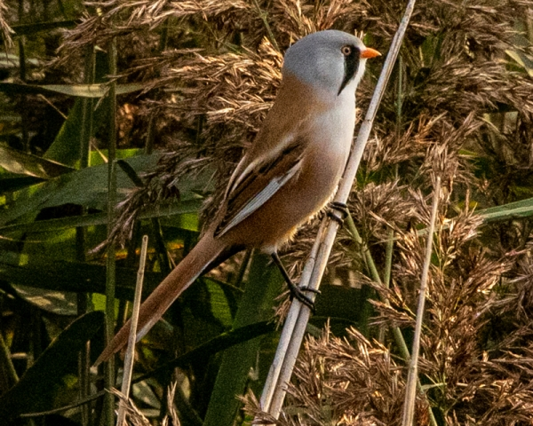 Bearded Tit by Mike Duffy - Sep 15th, Farlington Marshes