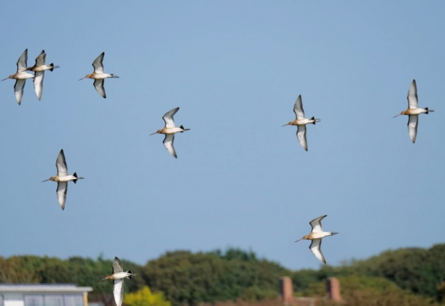 Black-Tailed-Godwit by Rob Porter-Sept 17th, Barton-on-Sea