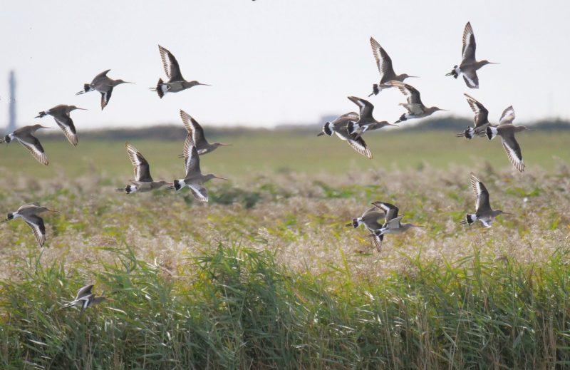 Black-tailed-Godwit-Sept 28th, Farlington Marshes
