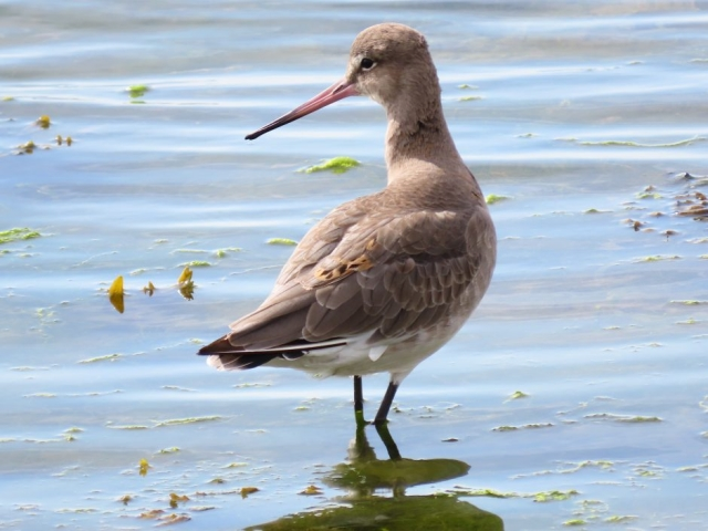 Black-tailed Godwit by Keith Betton - Sep 14th, Keyhaven