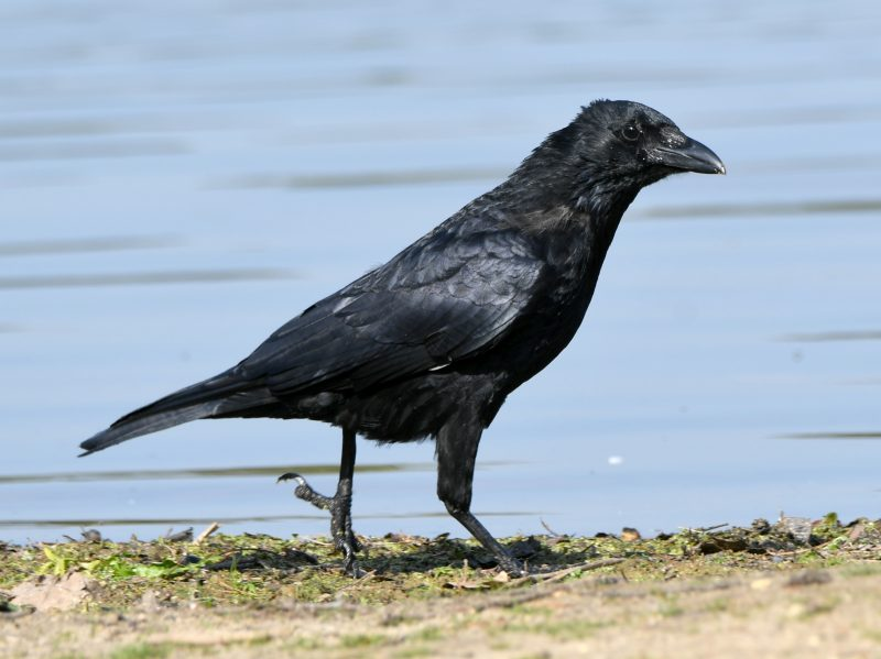 Carrion Crow by Dave Levy - Sep 22nd, Fleet Pond