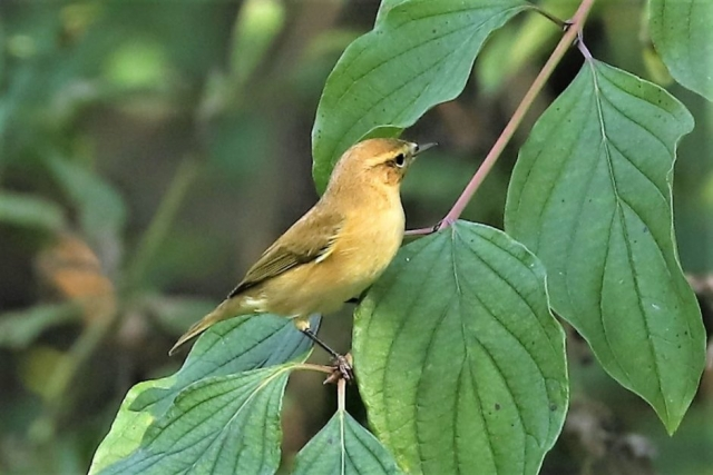 Chiffchaff by Brian Cartwright - Sep 16th, Rooksbury Mill