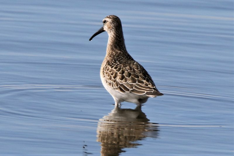 Curlew Sandpiper by Andy Tew - Sep 9th, Farlington Marshes
