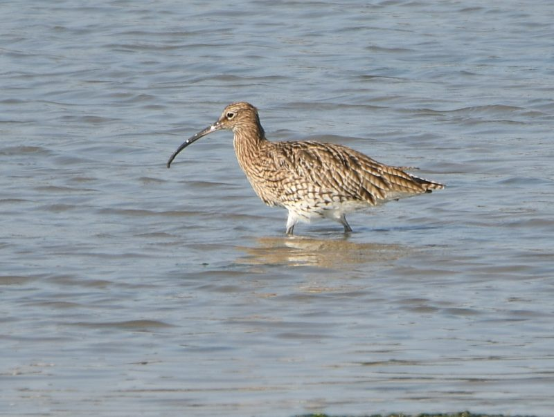 Curlew by Dave Levy - Sep 21st, Hamble
