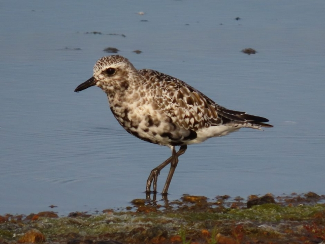 Grey Plover by Keith Betton - Sep 14th, Keyhaven