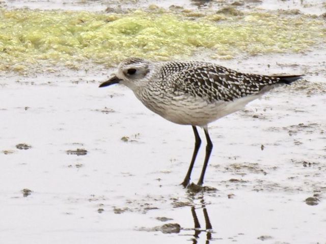 Grey Plover by Rob Porter-Sept 25th, Normandy Marsh