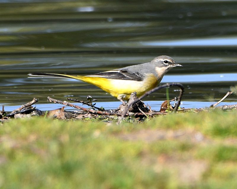 Grey Wagtail by Dave Levy - Sep 22nd, Fleet Pond