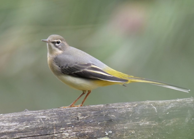 Grey Wagtail by Rob Porter-Sept 4th, Eling Creek