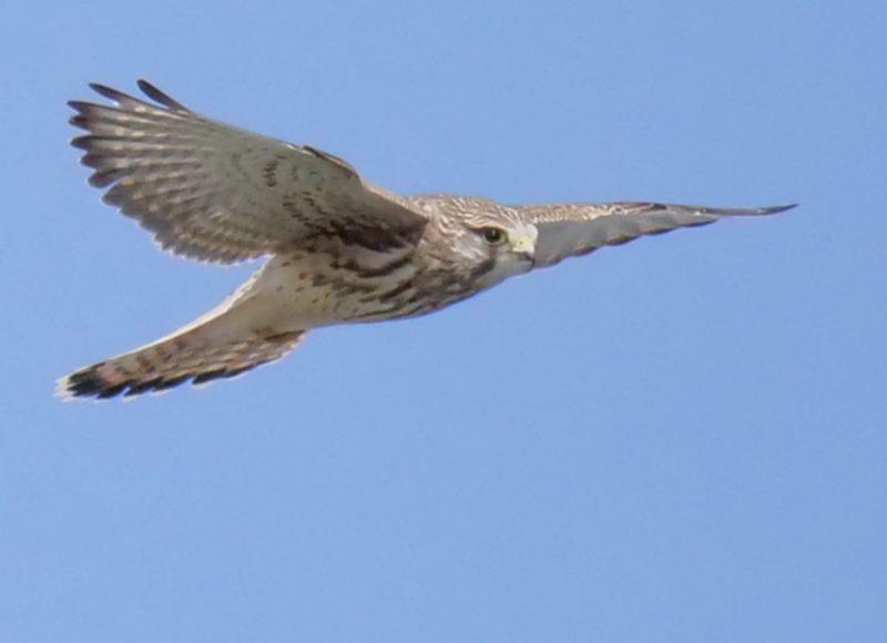 Kestrel by Rob Porter-Sept 28th, Farlington Marshes