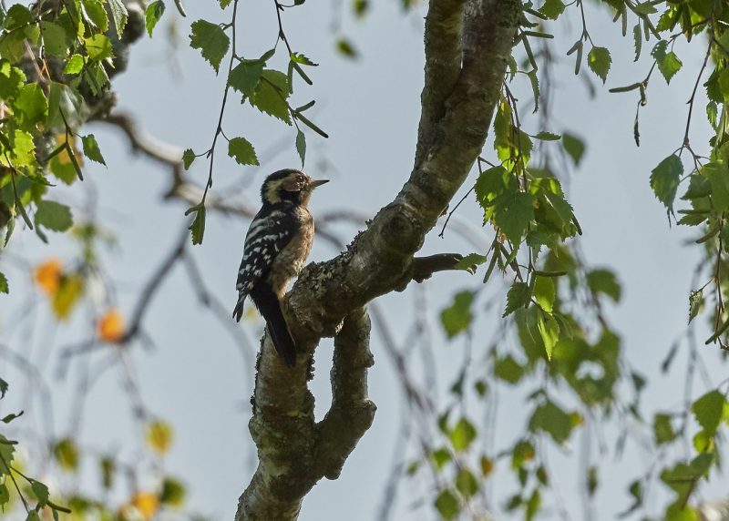 Lesser Spotted Woodpecker by Martin Bennett - Aug 30th, New Forest