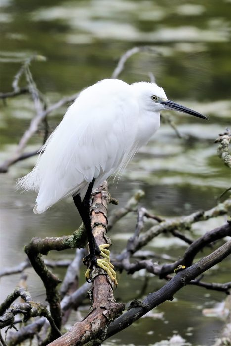Little Egret by Brian Cartwright - Aug 28th, Anton Lakes