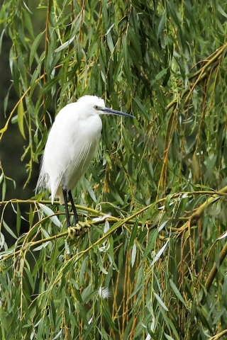 Little Egret by Brian Cartwright - Sep 3rd, Anton Lakes
