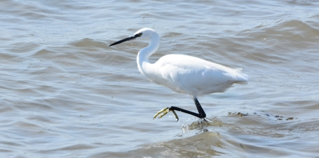 Little Egret by Peter Hyde - Sep 14th, Hamble Point