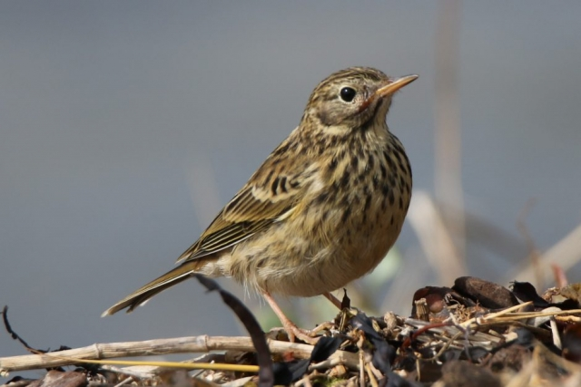 Meadow Pipit by Andy Tew - Aug 29th, Pennington Marshes