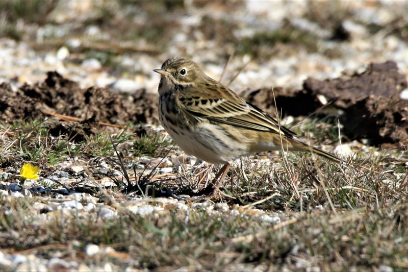 Meadow Pipit by Andy Tew - Sep 26th, New Forest