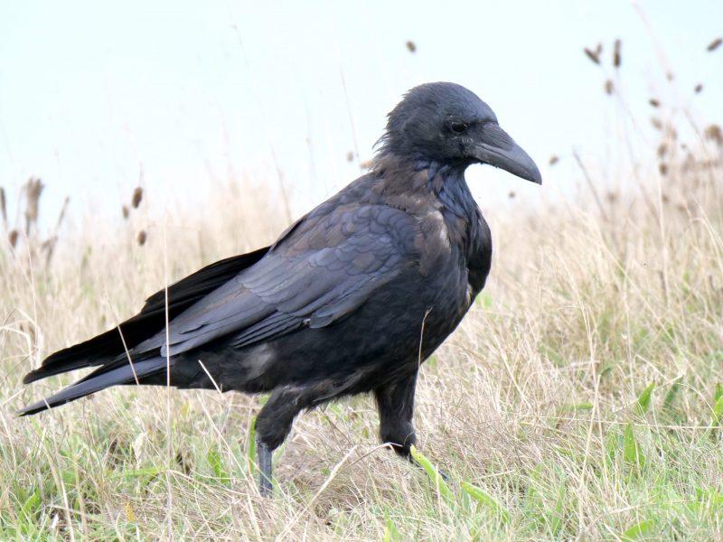 Raven by Rob Porter-Sept 2nd, Barton-on-Sea