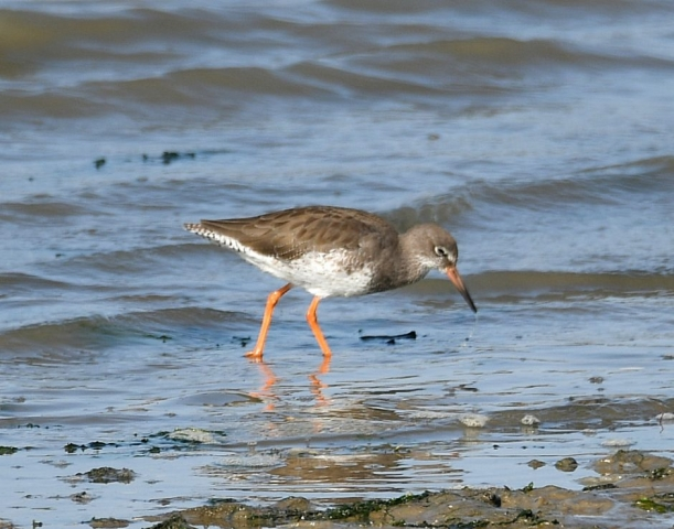 Redshank by Dave Levy - Sep 21st, Hamble