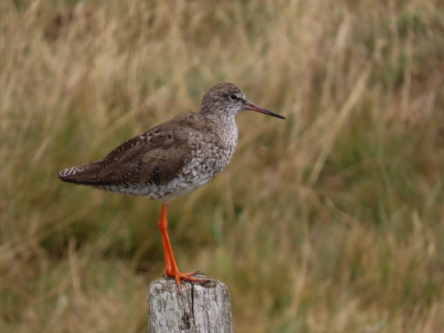 Redshank by Kay Shillitoe - Aug 6th, Farlington Marshes