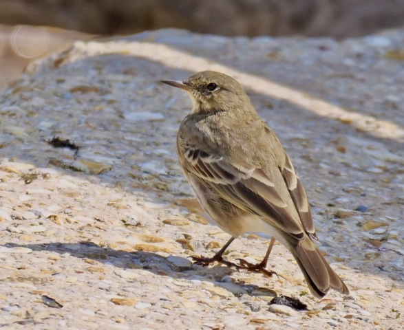 Rock Pipit by Rob Porter-Sept 18th, Lepe