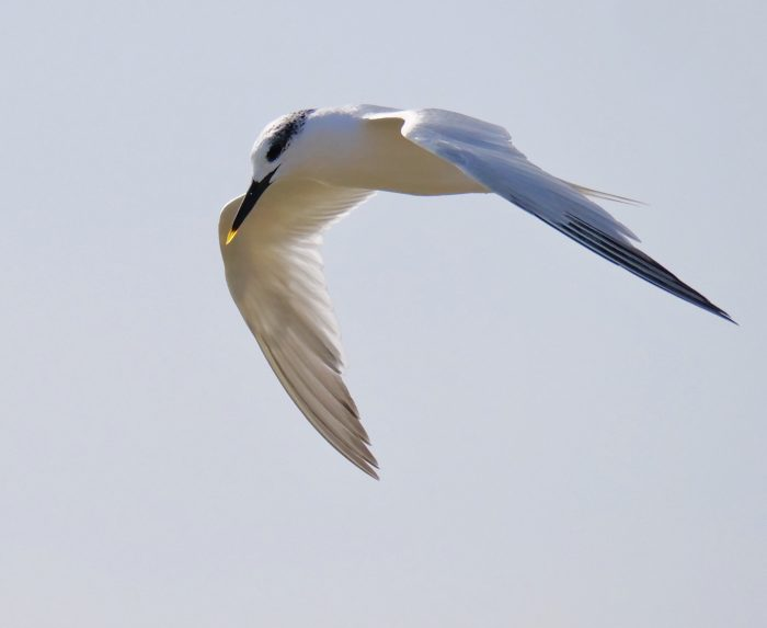 Sandwich Tern by Rob Porter-Sept 18th, Lepe