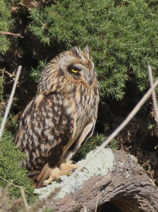 Short eared Owl by Bob Marchant - Sep 27th, Hook-with -Warsash