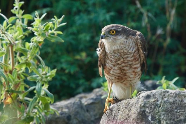 Sparrowhawk by Martin Bennett - Sep 2nd, Furze Hill