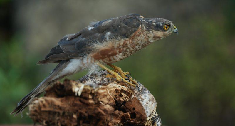 Sparrowhawk by Martin Bennett - Sep 10th, Furze Hill
