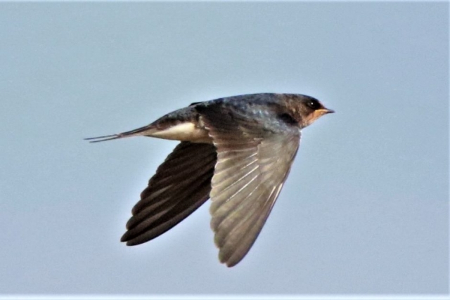 Swallow by Andy Tew - Sep 10th, Taddiford Gap