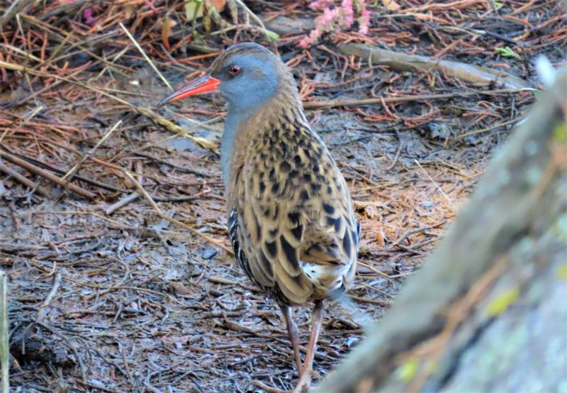 Water Rail by Keith Betton - Sep 14th, Keyhaven