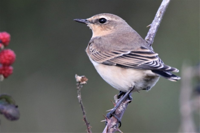 Wheatear by Andy Tew - Aug 29th, Pennington Marshes