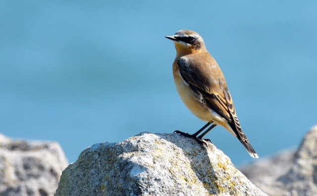 Wheatear by Peter Hyde - Sep 14th, Hamble Point