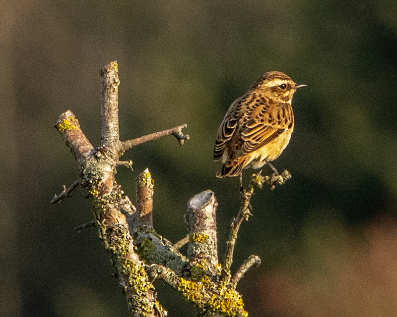 Whinchat by Mike Duffy - Sep 21st, Farlington Marshes