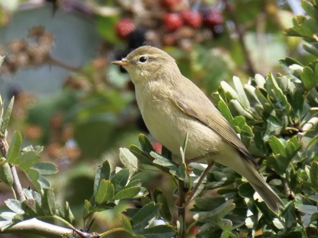 Willow Warbler by Rob Porter-Sept 4th, Pig Bush, N.F