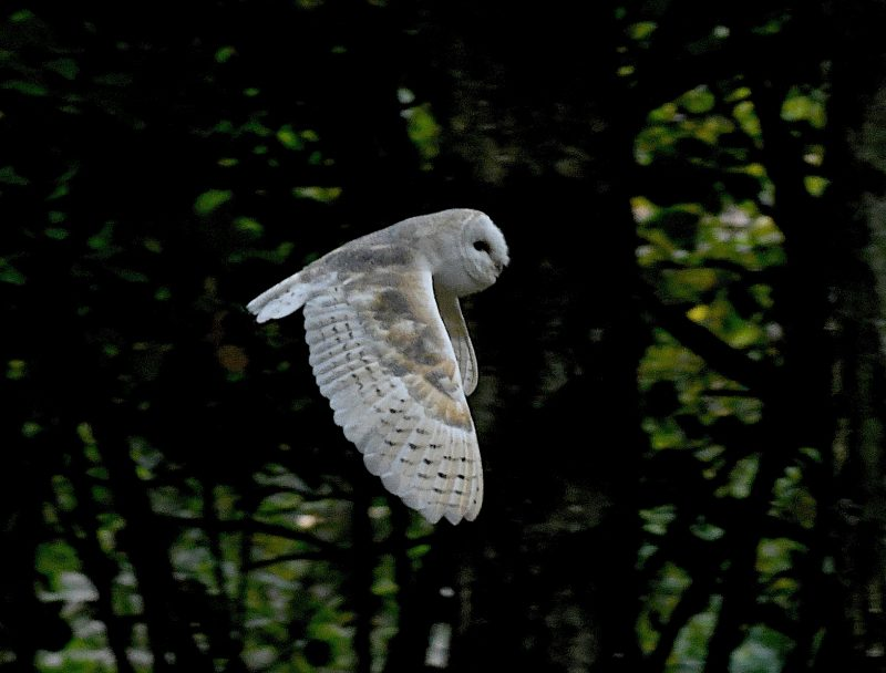 Barn Owl by Dave Levy - Oct 19th, Basingstoke