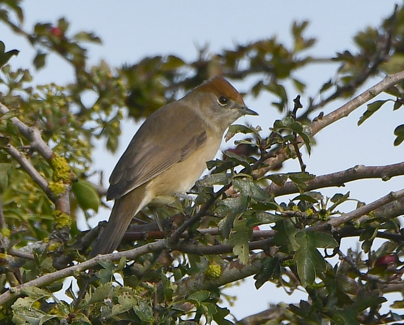 Blackcap by Dave Levy - Oct 5th, Basingstoke