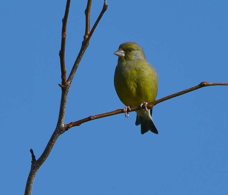 Greenfinch by Dave Levy - Oct 5th, Basingstoke