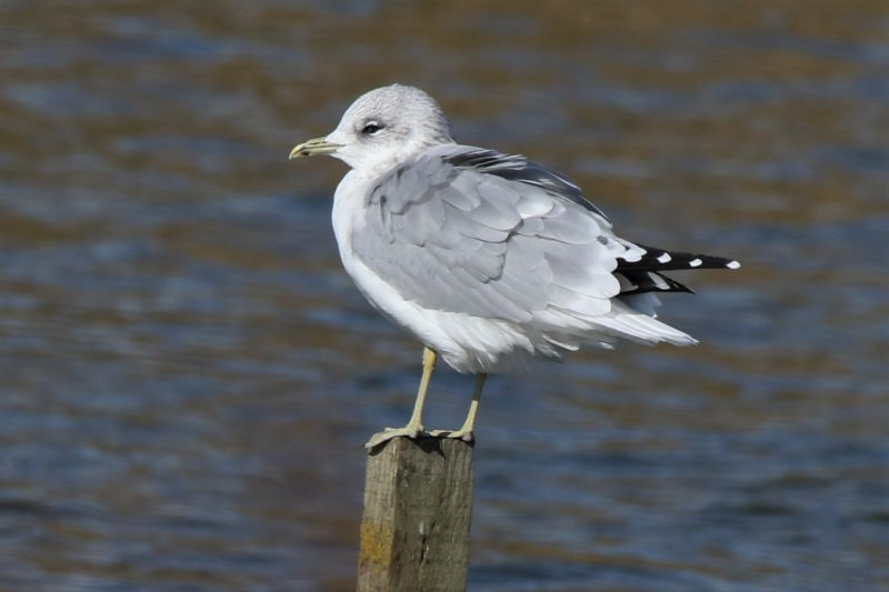 Common Gull by Andy Tew - Oct 1st, Titchfield Haven