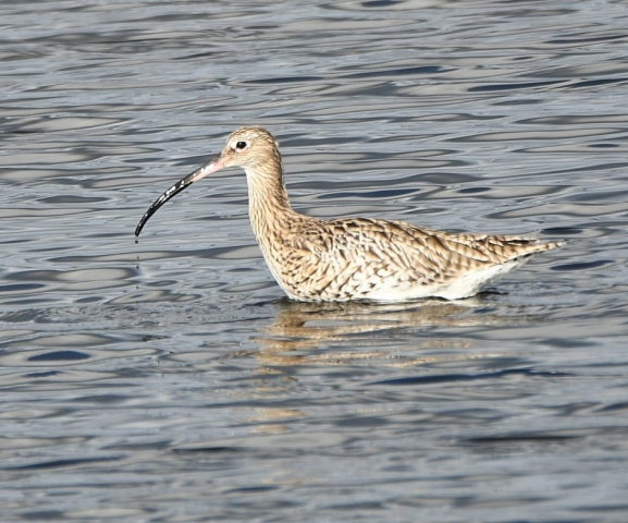 Curlew by Dave Levy - Oct 11th, Keyhaven