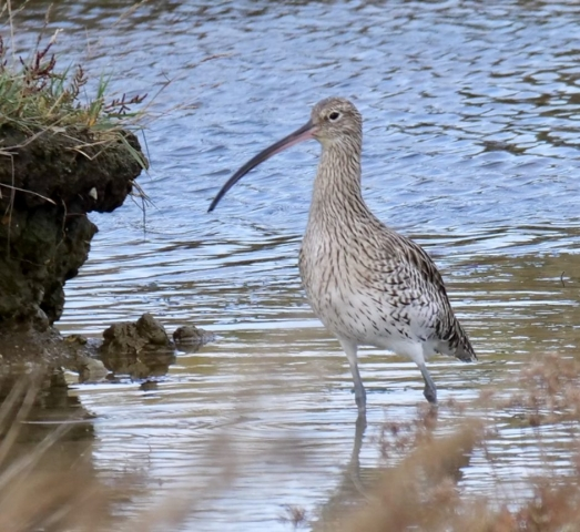 Curlew by Rob Porter-Oct 8th, Stansore Pools, Lepe