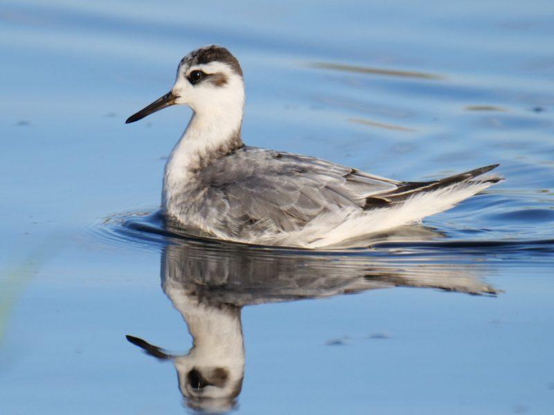 Grey Phalarope by Rob Porter-Oct 10th, Fishtail Lagoon, Pennington