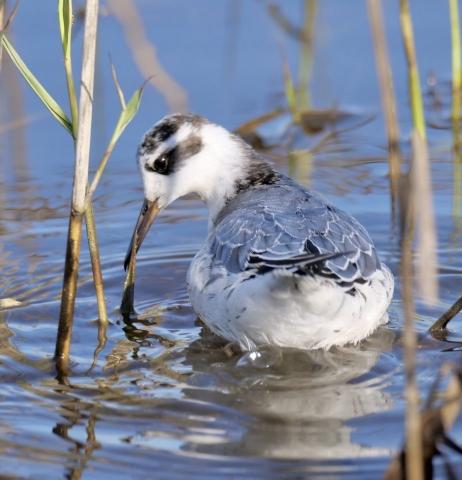 Grey Phalarope by Rob Porter-Oct 14th, Fishtail Lagoon, Pennington