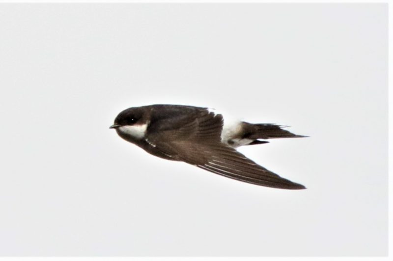 House Martin by Andy Tew - Oct 16th, Pennington Marshes