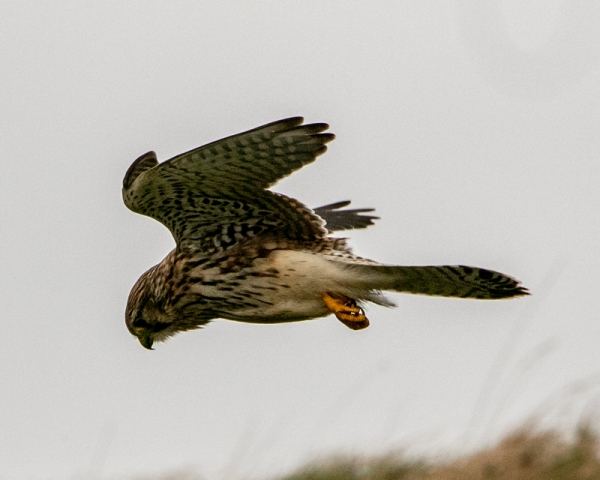 Kestrel by Mike Duffy - Oct 28th, Old Winchester Hill