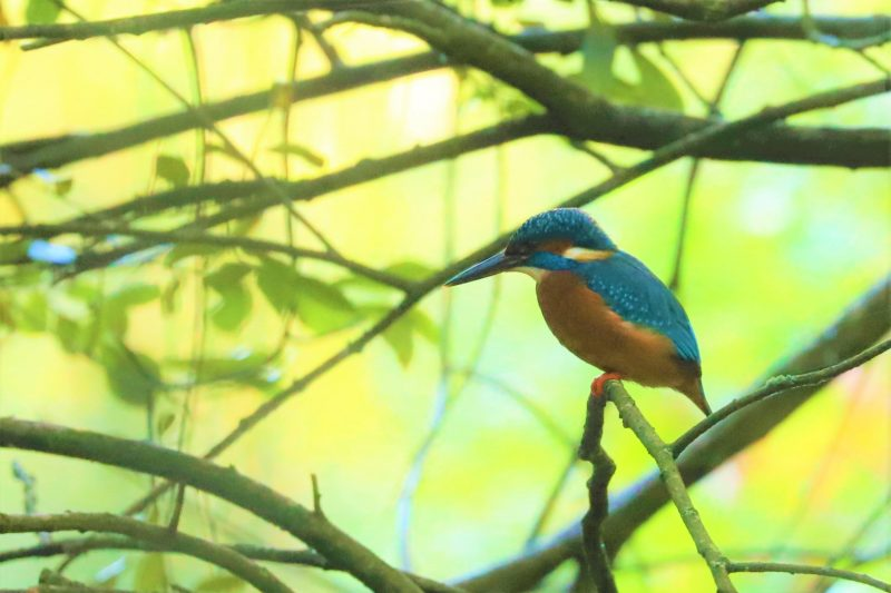 Kingfisher by Brian Cartwright - Oct 11th, Anton Lakes