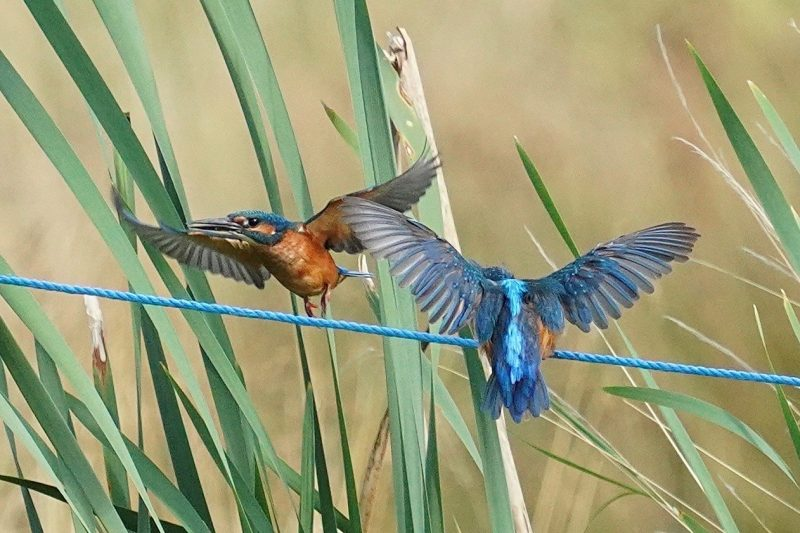 Kingfisher by John Scamell - Aug 5th, Bishopstoke