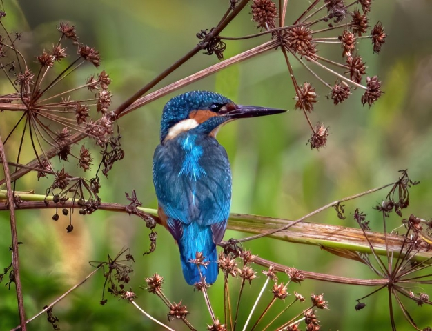 Kingfisher by Steve Payce - Sep 25th, River Itchen